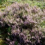 Bild: Besenheide Gewöhnliches Heidekraut Blüte pink Calluna vulgaris