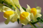 Gewoehnliches Leinkraut Kraut Bluete gelb orange Linaria vulgaris 04