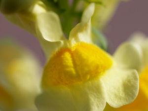 Gewoehnliches Leinkraut Kraut Bluete gelb orange Linaria vulgaris 05