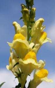 Gewoehnliches Leinkraut Kraut Bluete gelb orange Linaria vulgaris 11