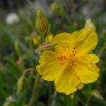 Gewoehnliches Sonnenroeschen Bluete gelb Helianthemum nummularium 06