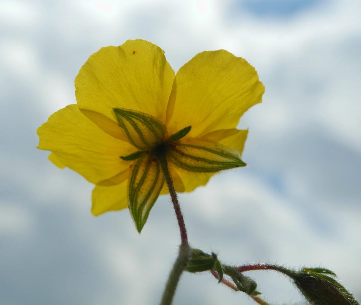 Gewoehnliches Sonnenroeschen Bluete gelb Helianthemum nummularium