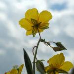 Gewoehnliches Sonnenroeschen Bluete gelb Helianthemum nummularium 09