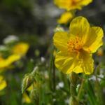 Bild:  Gewöhnliches Sonnenröschen Blüte gelb Helianthemum nummularium