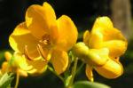 Gewuerzrinde Strauch Bluete gelb Senna corymbosa 04