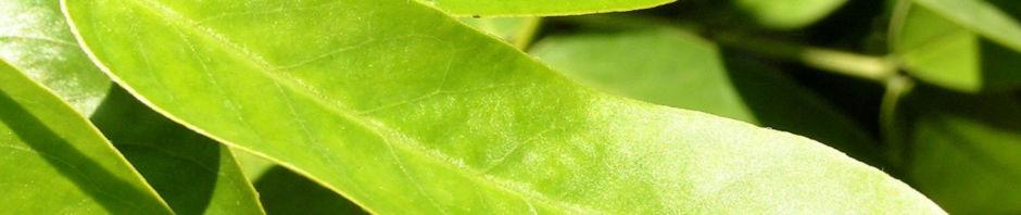 gewuerzrinde-strauch-bluete-gelb-senna-corymbosa