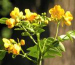 Gewuerzrinde Strauch Bluete gelb Senna corymbosa 07