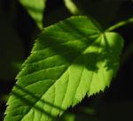 Giersch Blatt gruen Aegopodium podagraria0 1