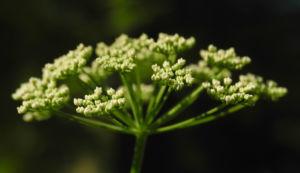 Giersch Bluete weiß Aegopodium podagraria01