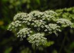 Bild: Giersch Blüte weiß Aegopodium podagraria