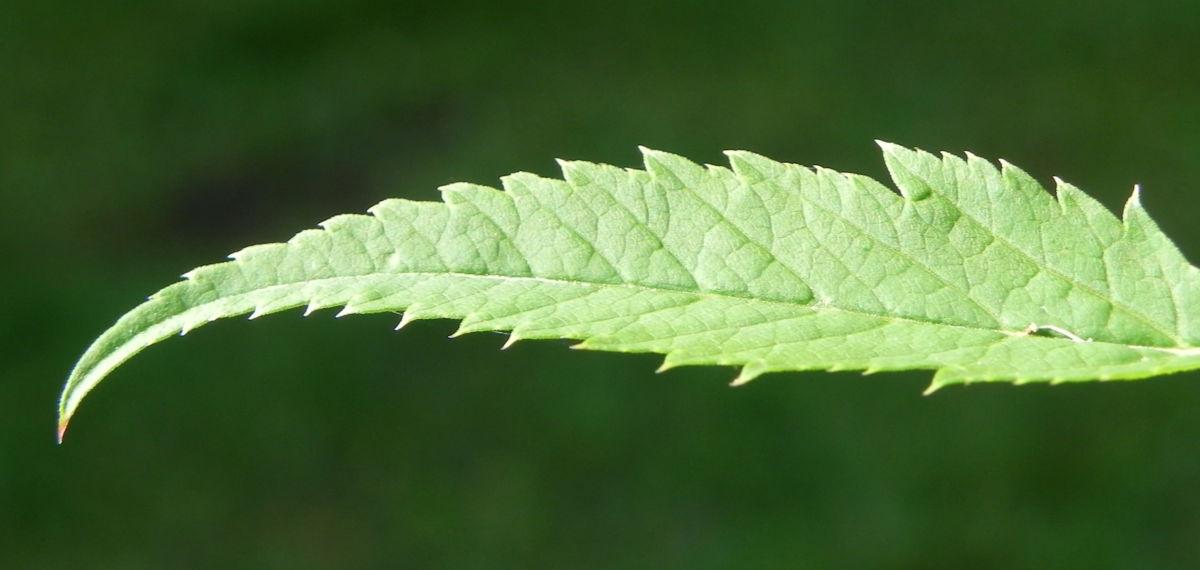 Giersch Kraut Blatt gruen Aegopodium podagraria