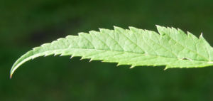 Giersch Kraut Blatt gruen Aegopodium podagraria 02