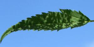 Giersch Kraut Blatt gruen Aegopodium podagraria 03