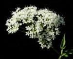 Bild: Giersch Kraut Blatt grün Blüte weiß Aegopodium podagraria