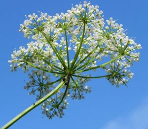 Giersch Kraut Bluete weiss Aegopodium podagraria 12