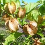 Giftbeere Blatt gruen Bluete hellblau Frucht beige Nicandra physaloides 01