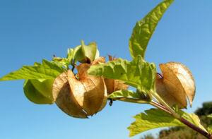 Giftbeere Blatt gruen Bluete hellblau Frucht beige Nicandra physaloides 10