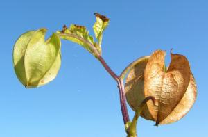 Giftbeere Blatt gruen Bluete hellblau Frucht beige Nicandra physaloides 12