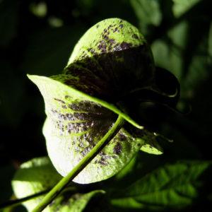 Bild: Giftbeere Schote gruen Nicandra physalodes