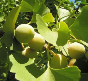 Ginkgo Baum Frucht hell gelb gruen Ginkgo biloba 02
