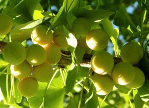 Ginkgo Baum Frucht hell gelb gruen Ginkgo biloba 05