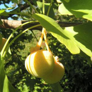 Ginkgo Baum Frucht hell gelb gruen Ginkgo biloba 06