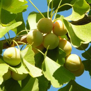 Ginkgo Baum Frucht hell gelb gruen Ginkgo biloba 07