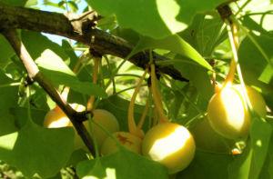 Ginkgo Baum Frucht hell gelb gruen Ginkgo biloba 08