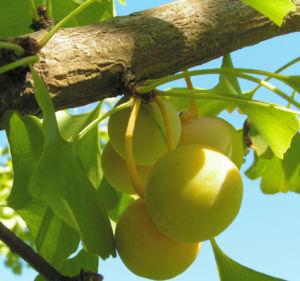 Ginkgo Baum Frucht hell gelb gruen Ginkgo biloba 10