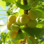 Bild: Ginkgo Baum Frucht hell gelb grün Ginkgo biloba
