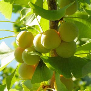 Bild: Ginkgo Baum Frucht hell gelb gruen Ginkgo biloba