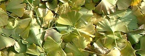 Anklicken um das ganze Bild zu sehen Ginkgo Blatt grün Frucht gelb Rinde Ginkgo biloba