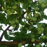Ginkgo Ginkgo biloba 09