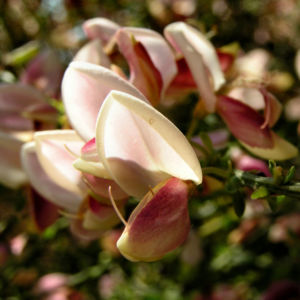 Ginster bunt Bluete roetlich Cytisus purpureus 06