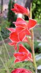 Gladiole Bluete rot Gladiolus spp 01