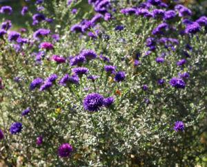 Glattblatt-Aster Blüte lila gefüllt Aster novae belgii 01