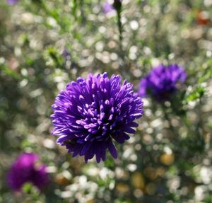Glattblatt-Aster Blüte lila gefüllt Aster novae belgii 02