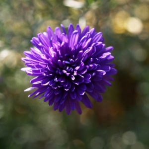 Glattblatt-Aster Blüte lila gefüllt Aster novae belgii 03