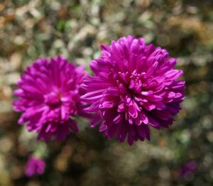 Glattblatt-Aster Blüte lila gefüllt Aster novae belgii 04