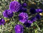 Glattblatt-Aster Blüte lila gefüllt Aster novae belgii 05