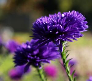 Glattblatt-Aster Blüte lila gefüllt Aster novae belgii 07