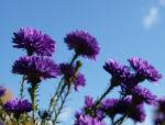 Glattblatt-Aster Blüte lila gefüllt Aster novae belgii