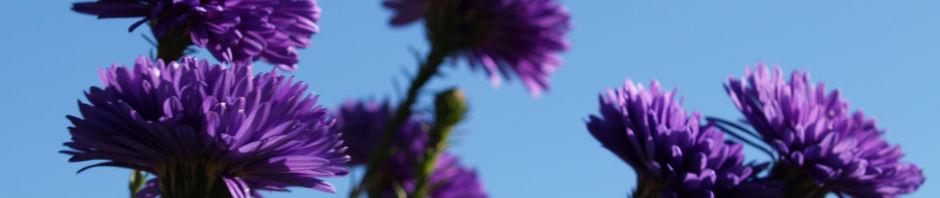 Anklicken um das ganze Bild zu sehen  Glattblatt-Aster Aster novae belgii