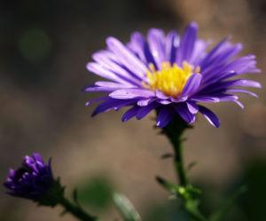 Glattblattaster Neubelgische Aster Bluete blau Aster novae belgii 06