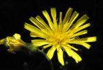 Glattes Habichtskraut Bluete gelb Hieracium laevigatum 02