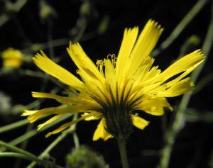 Glattes Habichtskraut Bluete gelb Hieracium laevigatum 03