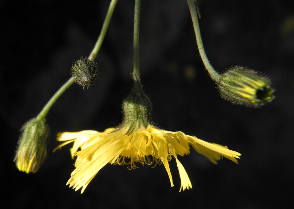 Glattes Habichtskraut Bluete gelb Hieracium laevigatum