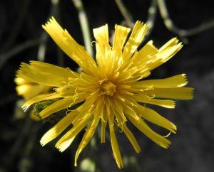 Glattes Habichtskraut Bluete gelb Hieracium laevigatum 12