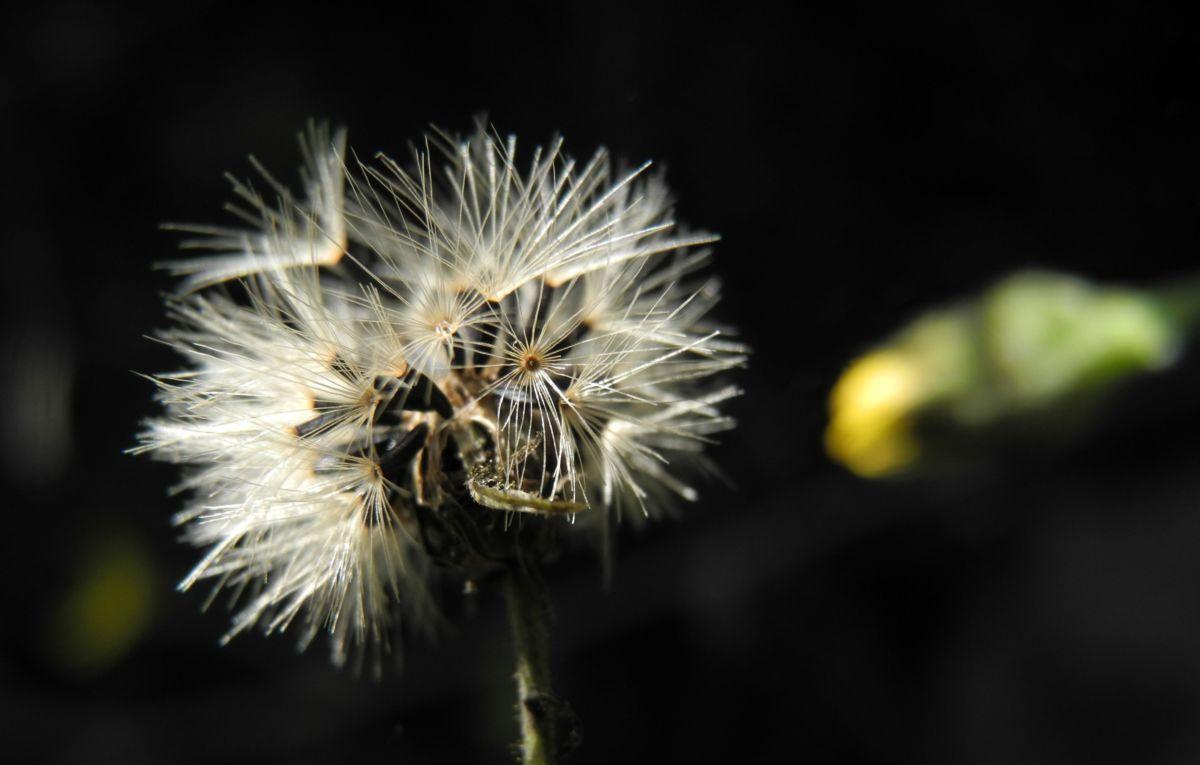 Glattes Habichtskraut Samen grau Hieracium laevigatum