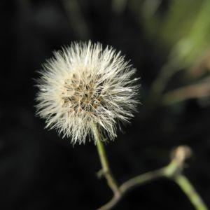 Bild: Glattes Habichtskraut Samen grau Hieracium laevigatum